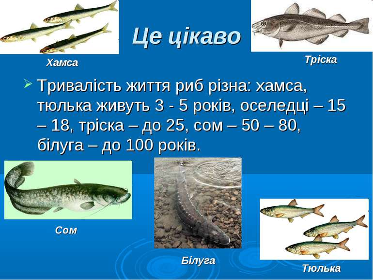 Це цікаво Тривалість життя риб різна: хамса, тюлька живуть 3 - 5 років, оселе...