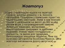 Жовтопуз Одна з найбільших ящірок на території України, досягає довжини 1 м. ...