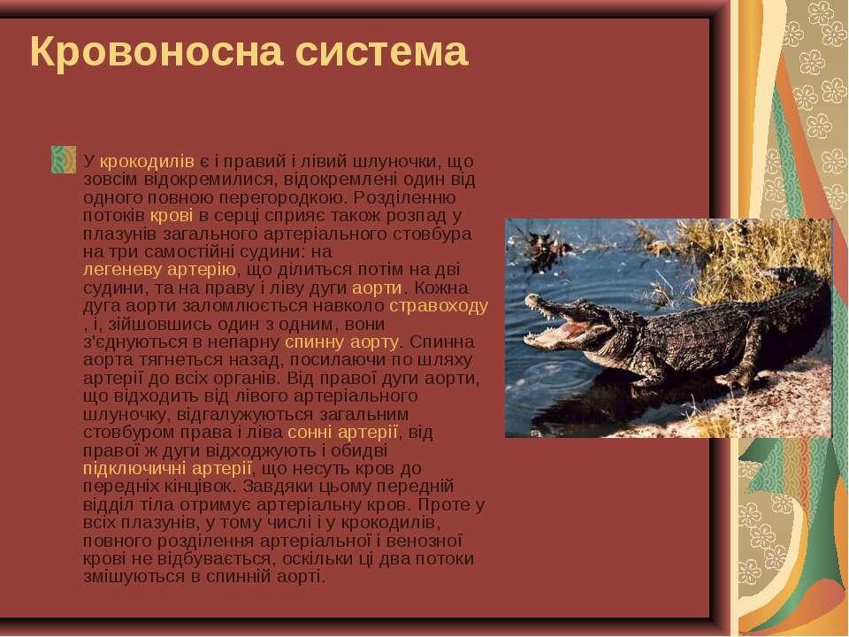 Кровоносна система У крокодилів є і правий і лівий шлуночки, що зовсім відокр...