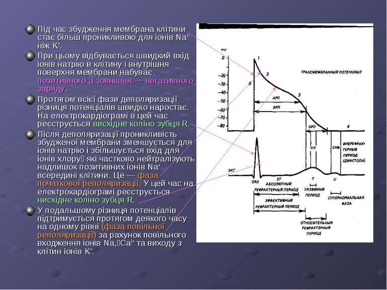 Під час збудження мембрана клітини стає більш проникливою для іонів Na+ ніж K...