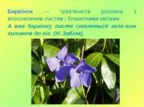 Барвінок — трав'яниста рослина з вічнозеленим листям і блакитними квітами. А ...