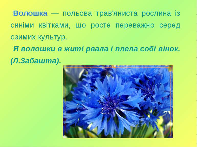 Волошка — польова трав'яниста рослина із синіми квітками, що росте переважно ...