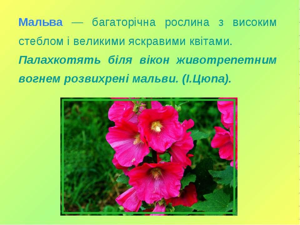 Мальва — багаторічна рослина з високим стеблом і великими яскравими квітами. ...