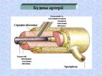 Будова артерії Середня оболонка Колагенові та елестинові волокна Зовнішня ела...