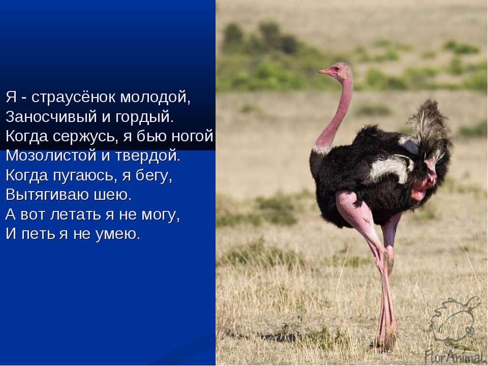 Я - страусёнок молодой, Заносчивый и гордый. Когда сержусь, я бью ногой Мозол...