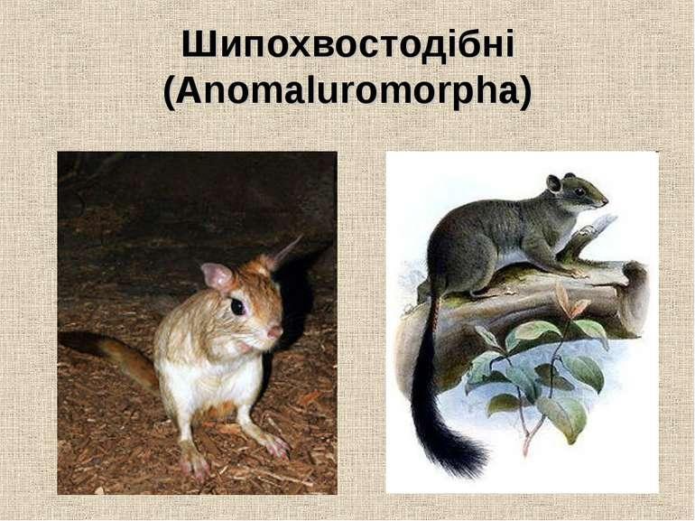 Шипохвостодібні (Anomaluromorpha)