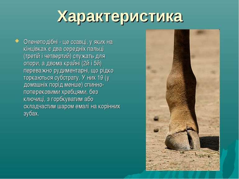 Характеристика Оленеподібні - це ссавці, у яких на кінцівках є два середніх п...