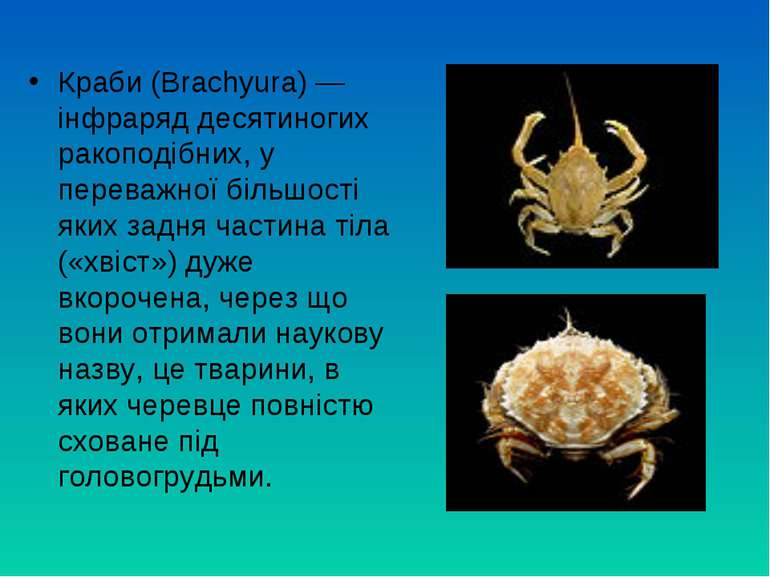 Краби (Brachyura) — інфраряд десятиногих ракоподібних, у переважної більшості...
