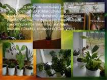 Серед квітучих шкільних рослин є такі: хлорофітум (Chlorophytum), філодендрон...