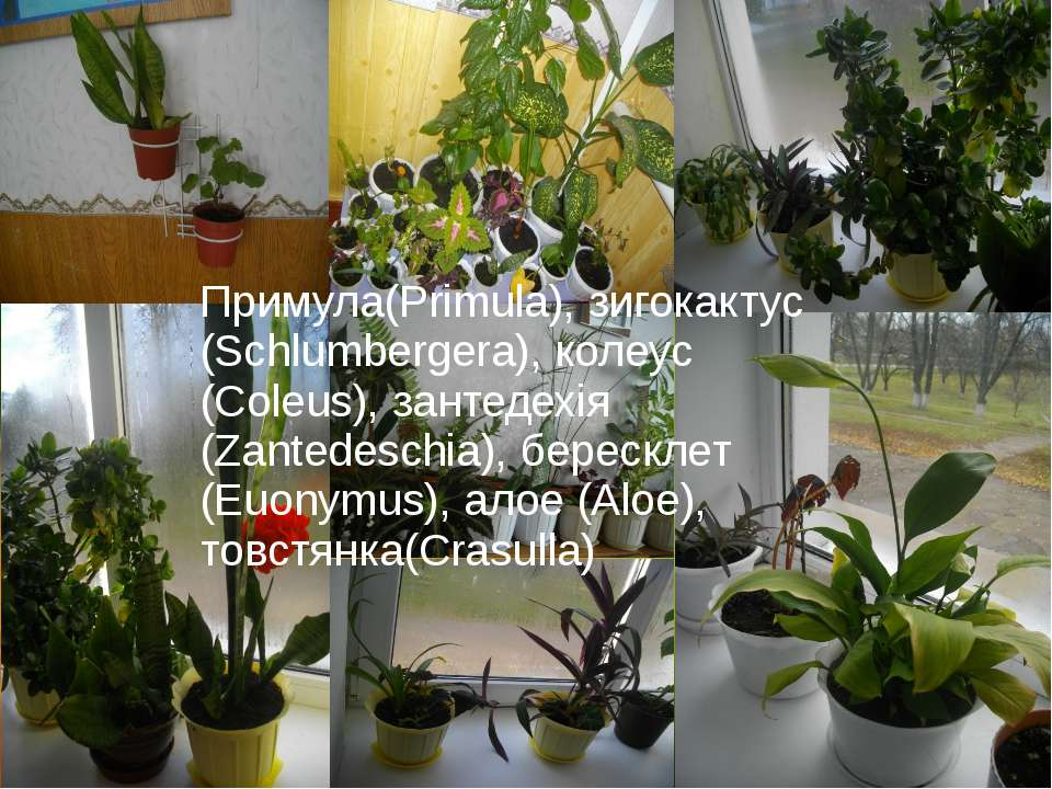Примула(Primula), зигокактус (Schlumbergera), колеус (Coleus), зантедехія (Za...