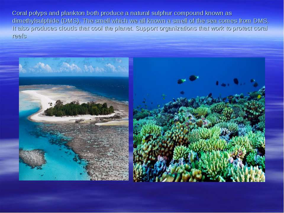 Coral polyps and plankton both produce a natural sulphur compound known as di...