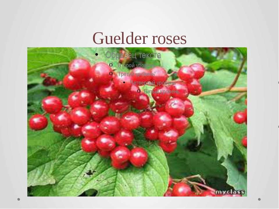 Guelder roses