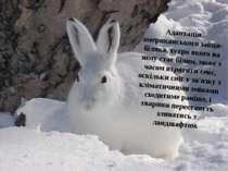 Адаптація американськогозайця-біляка, хутро якого на зиму стає білим, може з...