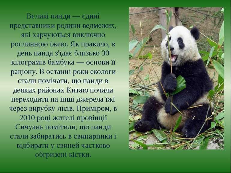 Великі панди — єдині представники родини ведмежих, які харчуються виключно ро...