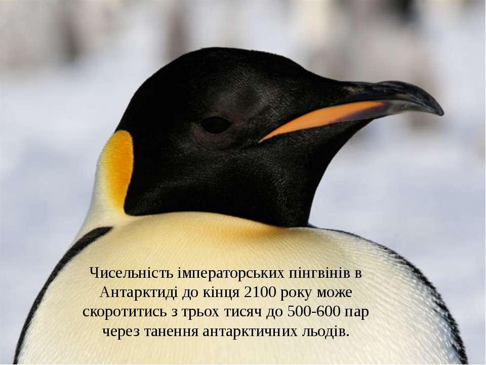 Чисельність імператорськихпінгвінівв Антарктиді до кінця 2100 року може ско...