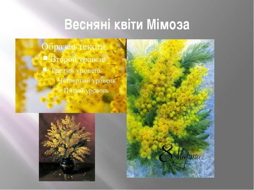 Весняні квіти Мімоза