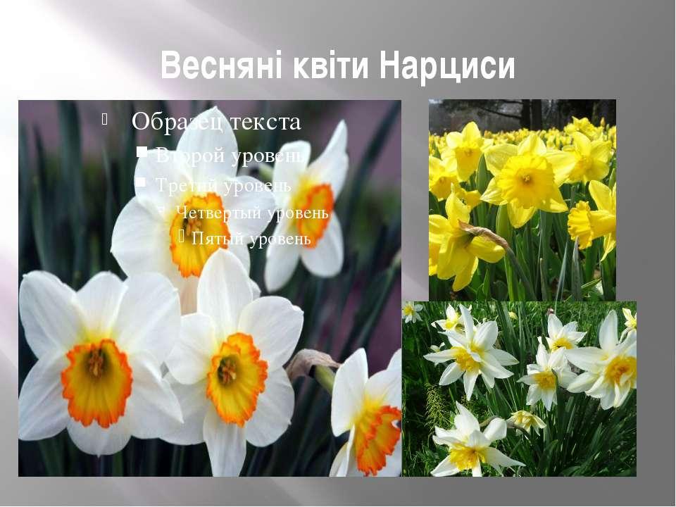 Весняні квіти Нарциси