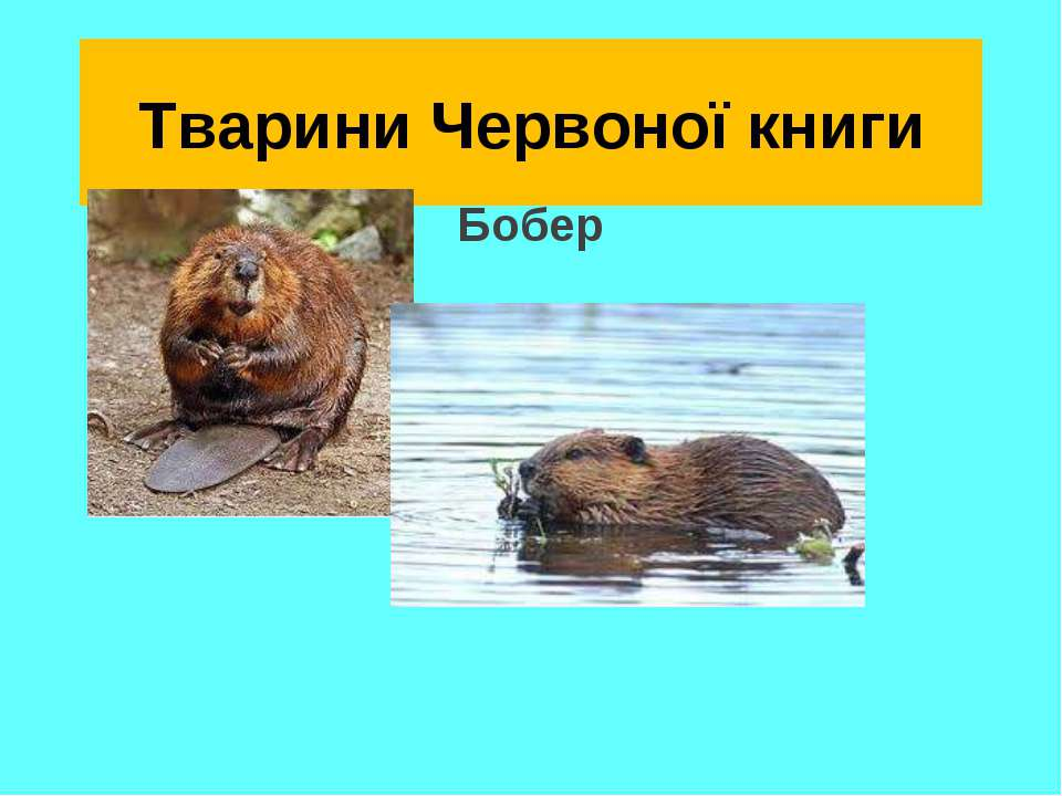 Тварини Червоної книги Бобер