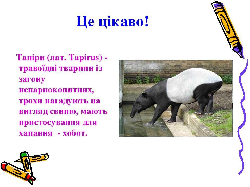 Це цікаво! Тапіри (лат. Tapirus) - травоїдні тварини із загону непарнокопитни...