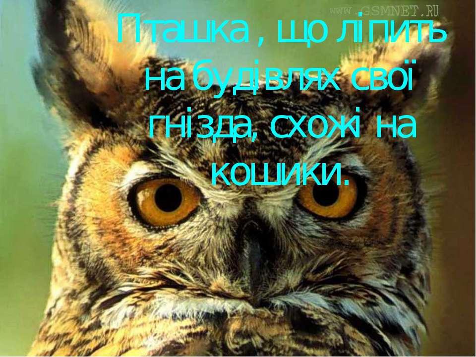 Пташка , що ліпить на будівлях свої гнізда, схожі на кошики.
