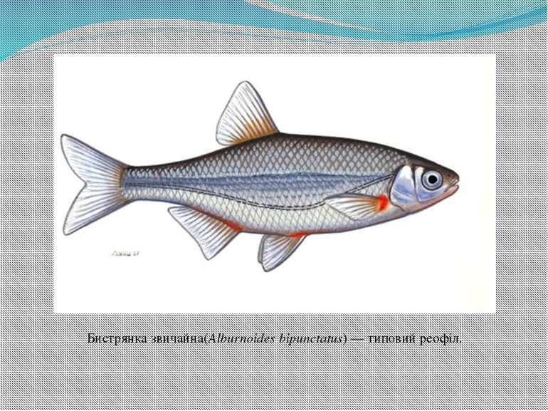 Бистрянка звичайна(Alburnoides bipunctatus)— типовий реофіл.
