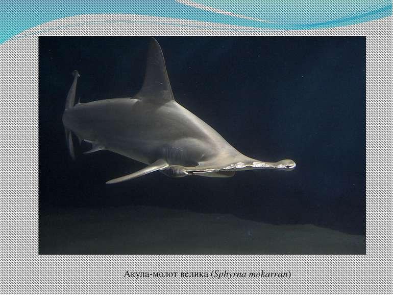 Акула-молот велика(Sphyrna mokarran)