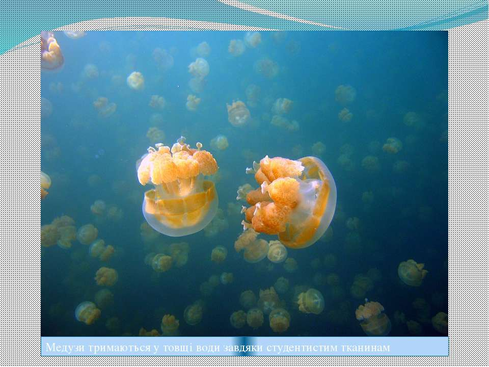 Медузи тримаються у товщі води завдяки студентистим тканинам