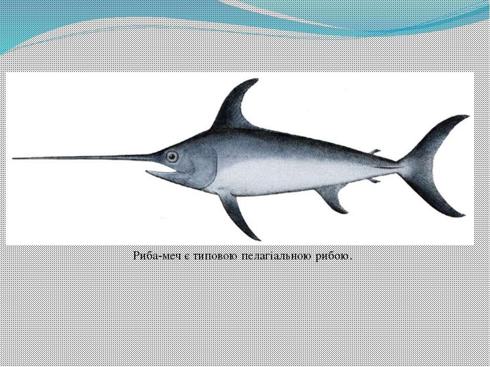 Риба-меч є типовою пелагіальною рибою.