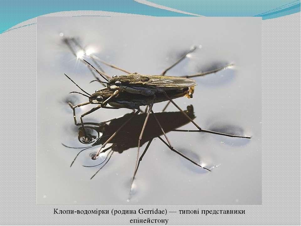 Клопи-водомірки (родина Gerridae) — типові представники епінейстону