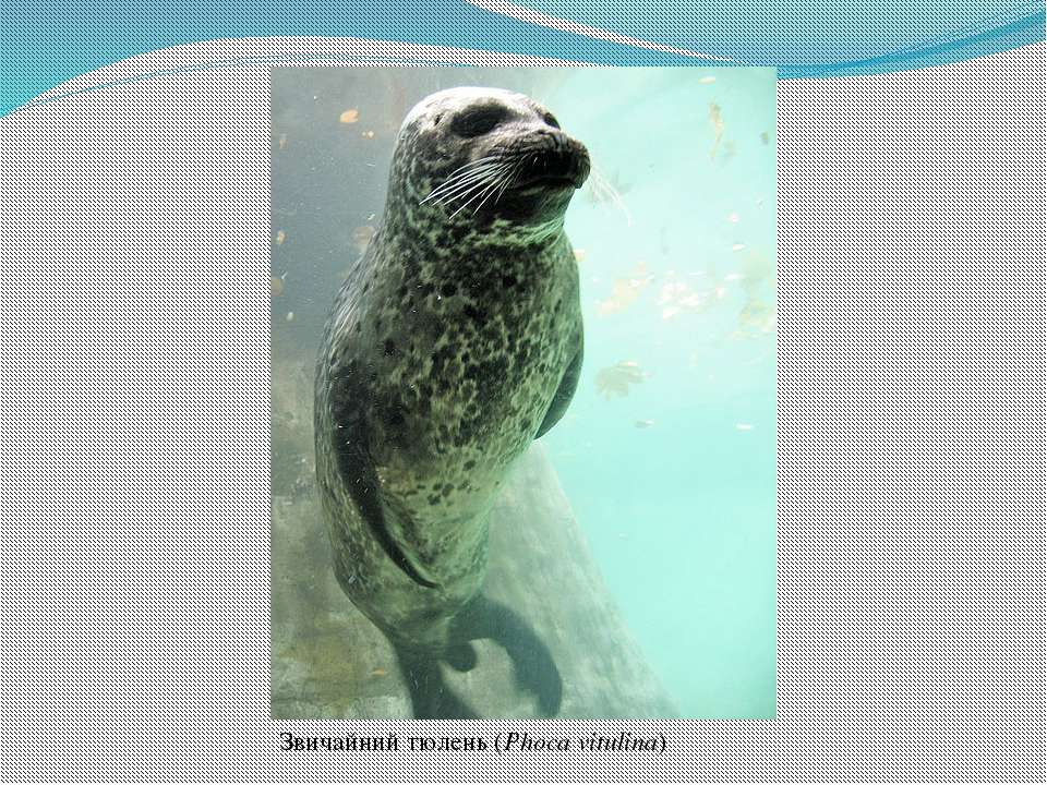 Звичайний тюлень(Phoca vitulina)