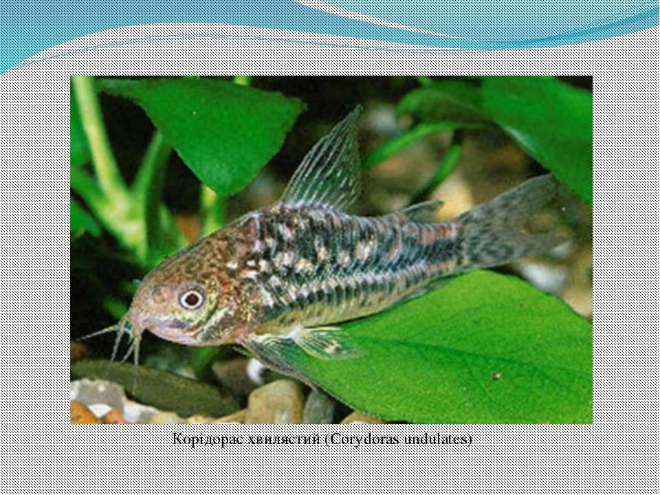 Корідорас хвилястий (Corydoras undulates)