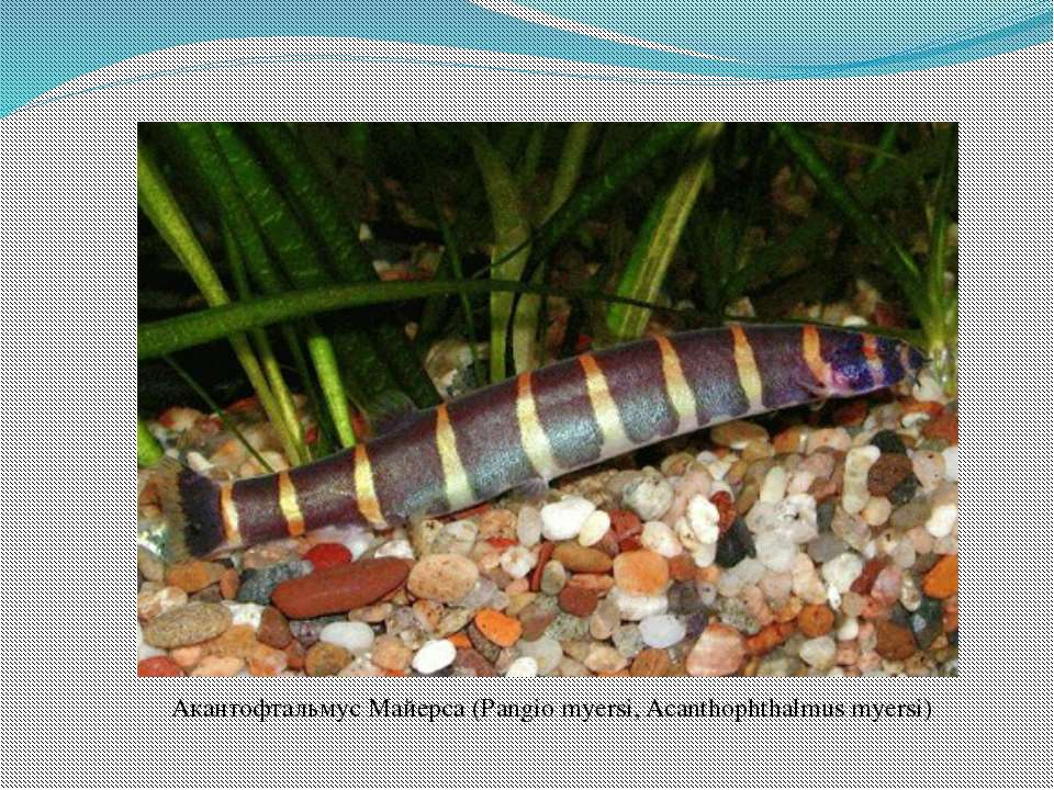 Акантофтальмус Майерса (Pangio myersi, Acanthophthalmus myersi)