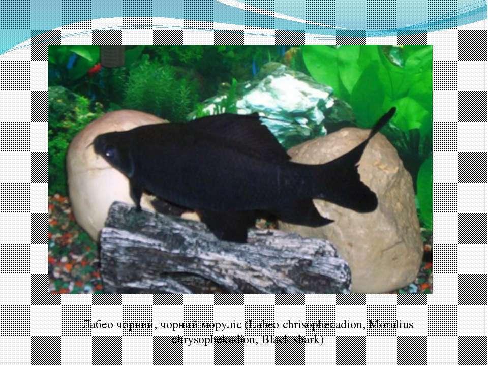 Лабео чорний, чорний моруліс (Labeo chrisophecadion, Morulius chrysophekadion...
