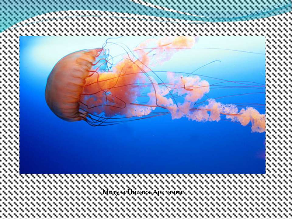 Медуза Цианея Арктична