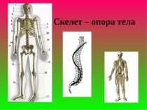 Скелет – опора тела