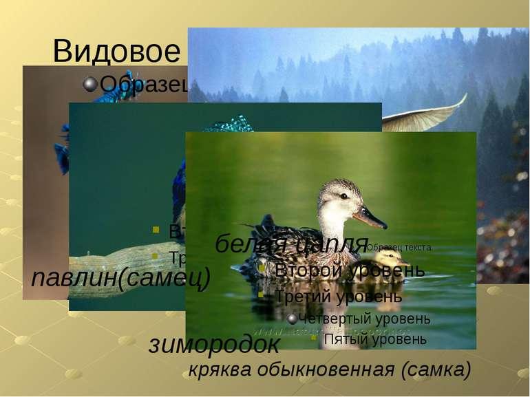 Видовое разнообразие птиц белая цапля павлин(самец) кряква обыкновенная (самк...