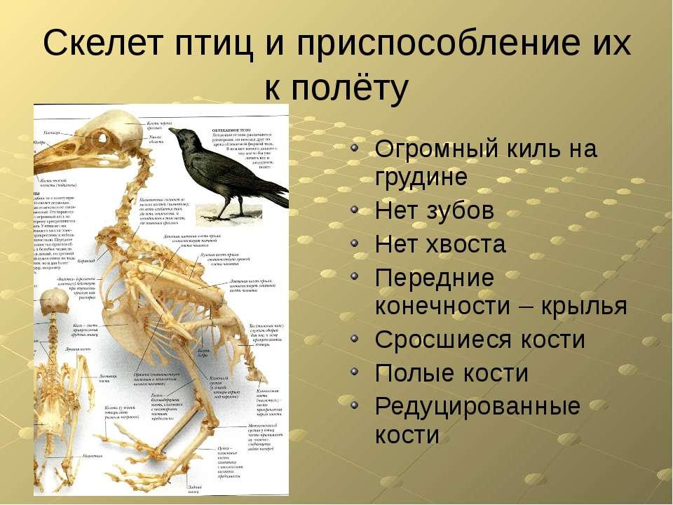 Скелет птиц и приспособление их к полёту Огромный киль на грудине Нет зубов Н...