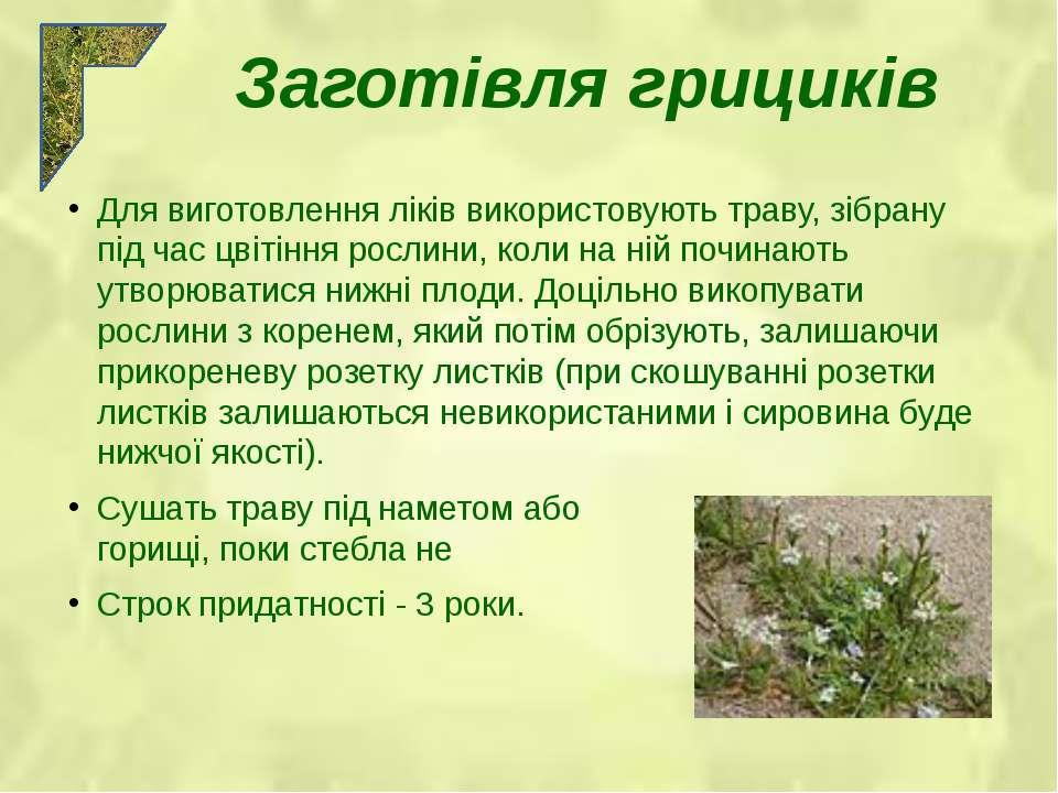 Для виготовлення ліків використовують траву, зібрану під час цвітіння рослини...
