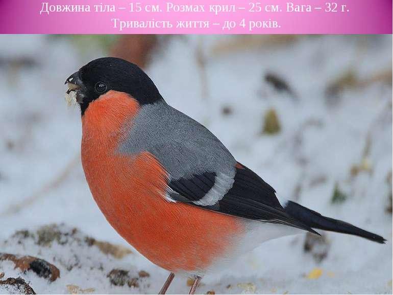 Довжина тіла – 15 cм. Розмах крил – 25 см. Вага – 32 г. Тривалість життя – до...