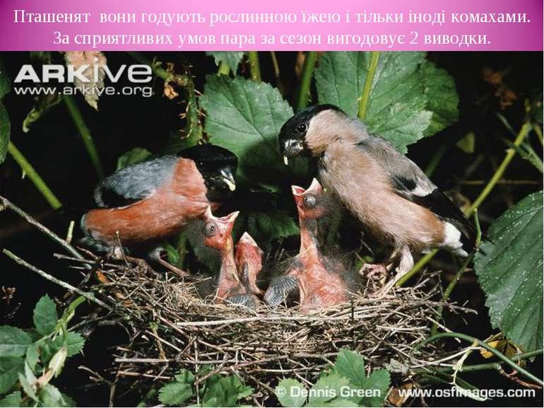 Пташенят вони годують рослинною їжею і тільки іноді комахами. За сприятливих ...