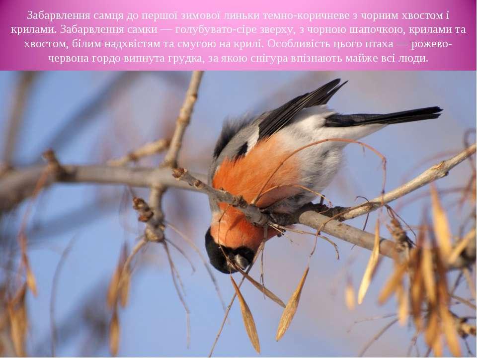 Забарвлення самця до першої зимової линьки темно-коричневе з чорним хвостом і...