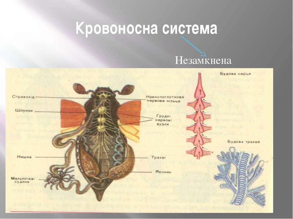 Кровоносна система Незамкнена