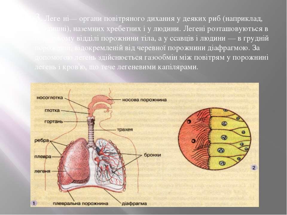 3. Леге ні— органи повітряного дихання у деяких риб (наприклад, дводишні), на...