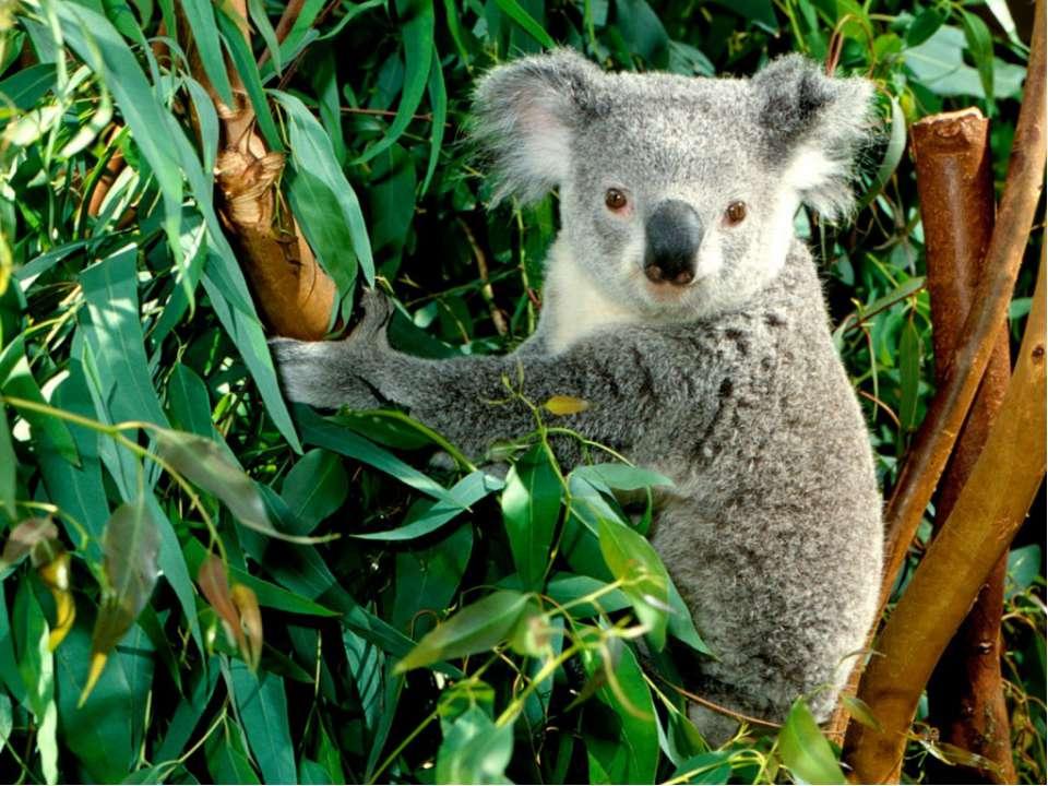 фото коали