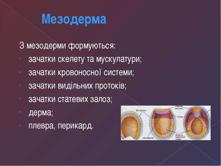З мезодерми формуються: зачатки скелету та мускулатури; зачатки кровоносної с...