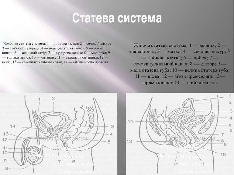 Статева система Чоловіча статева система: 1— лобкова кістка; 2— сечовий міху...
