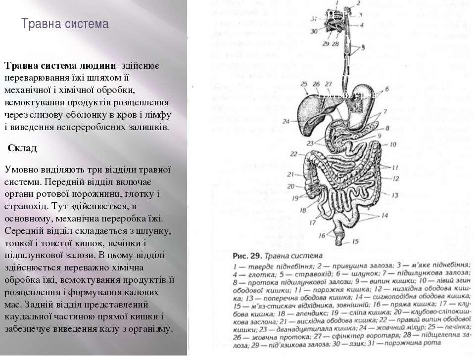 Травна система Травна система людини здійснює переварювання їжі шляхом її ме...