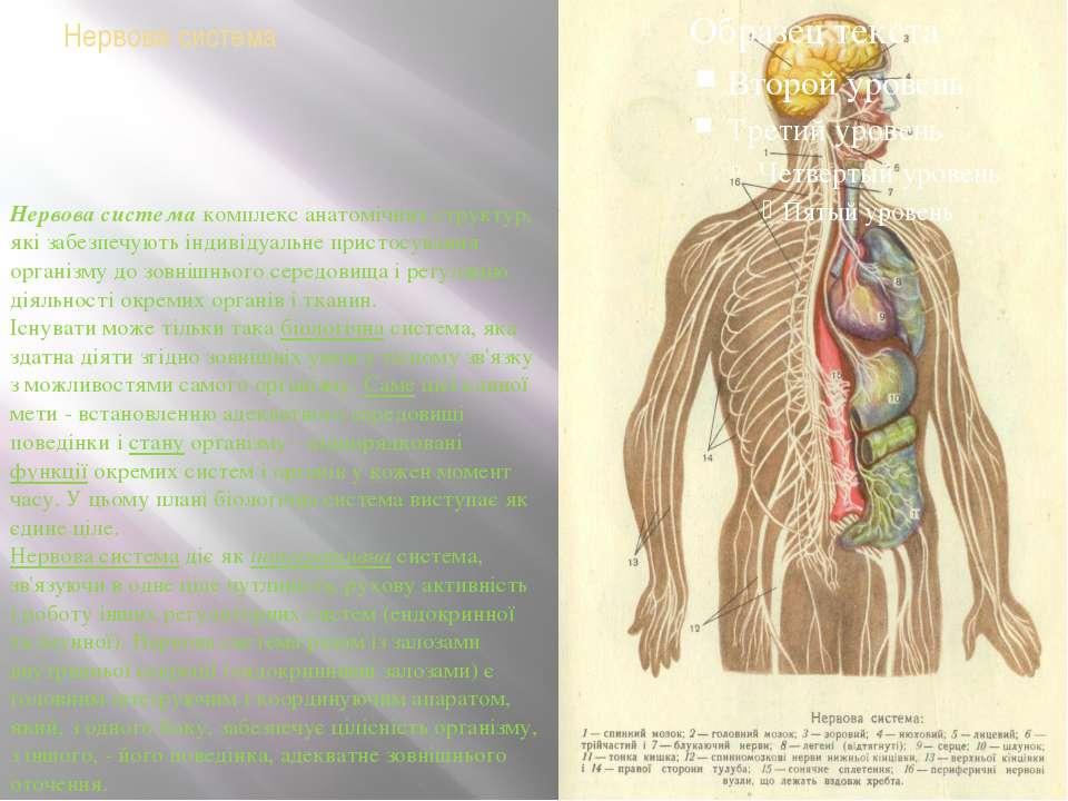 Нервова система Нервова системакомплекс анатомічних структур, які забезпечую...