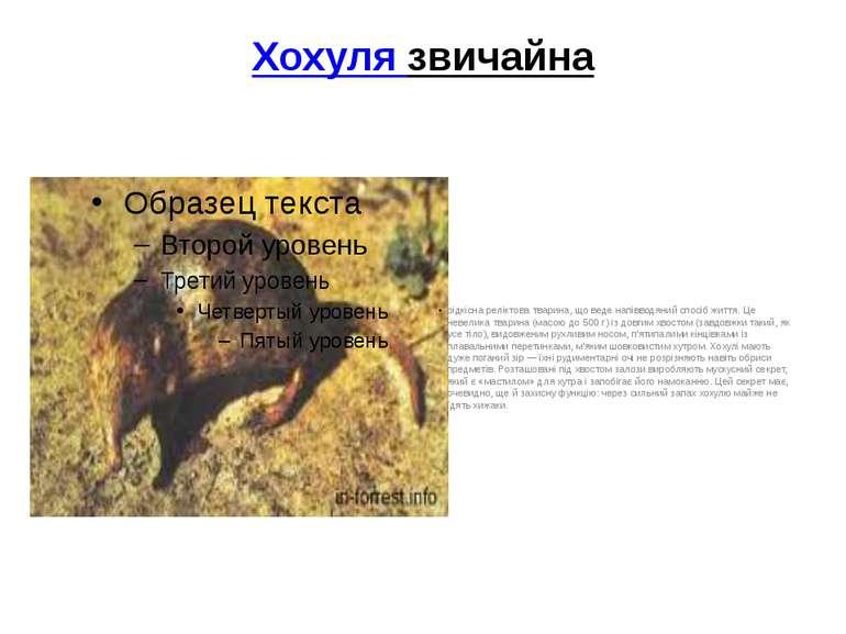 Хохуля звичайна рідкісна реліктова тварина, що веде напівводяний спосіб життя...