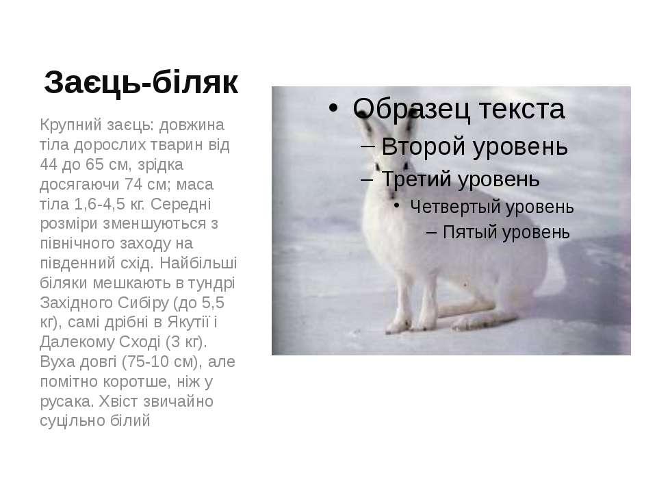 Заєць-біляк Крупний заєць: довжина тіла дорослих тварин від 44 до 65 см, зрід...